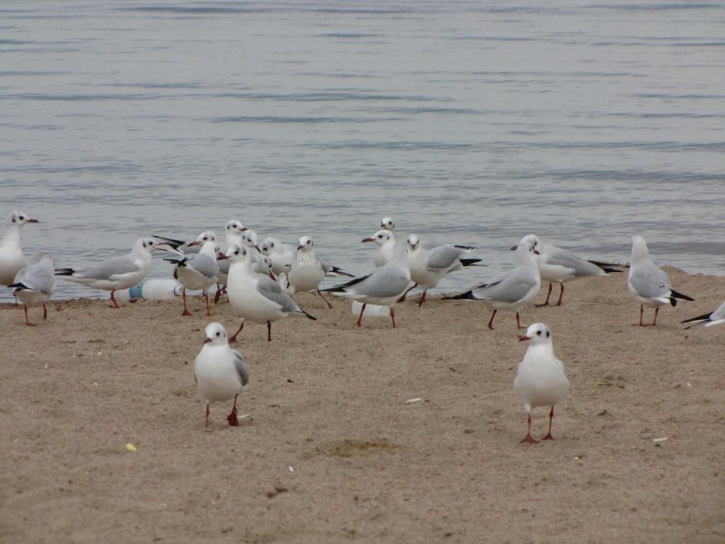 Чайки Иссык-Кулья